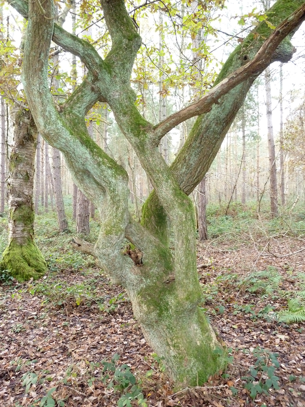 A naturally grafted oak