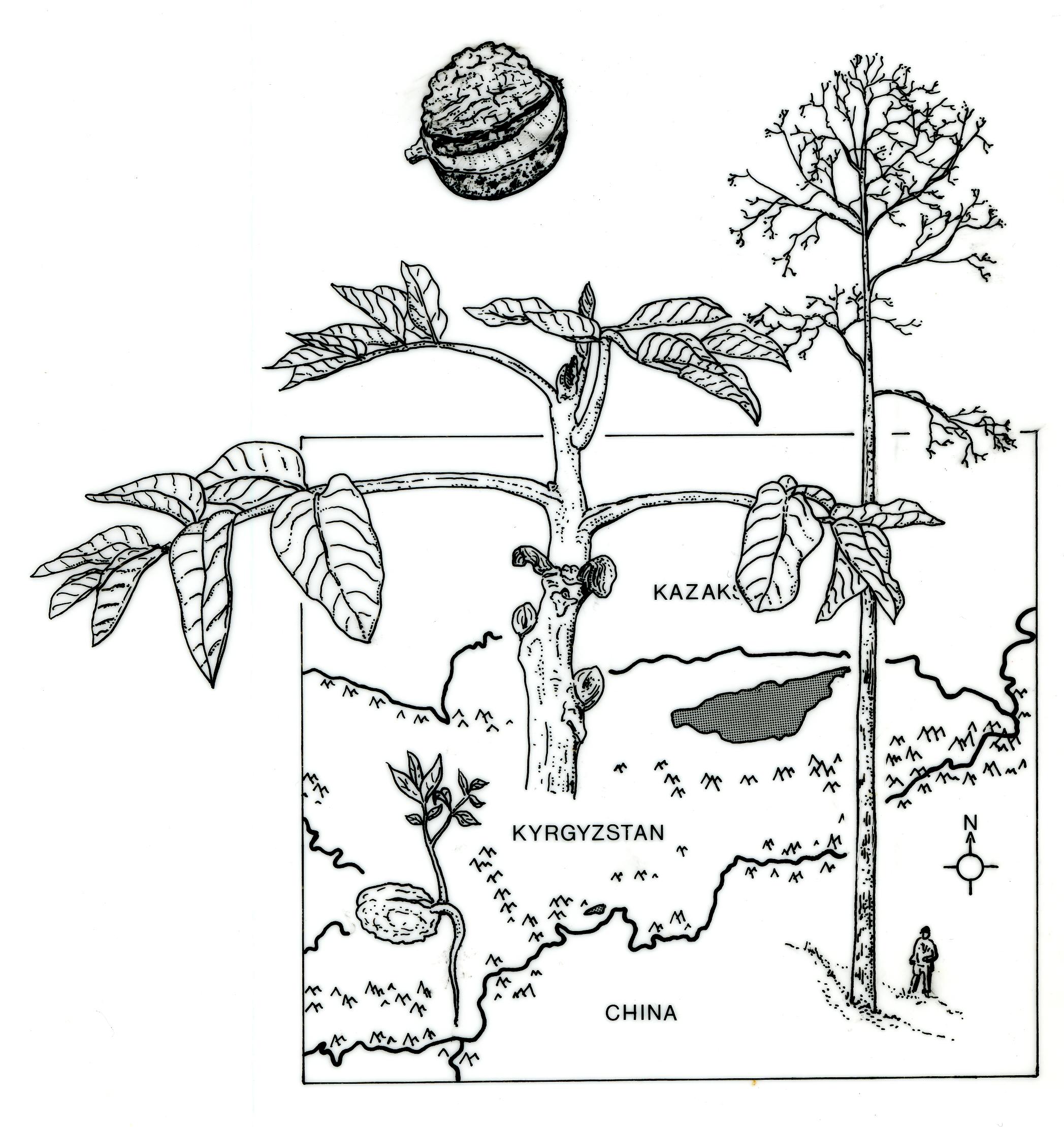 Kyrgyzstan walnut expedition