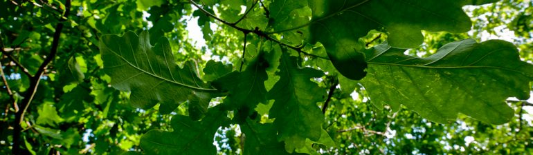 Oak shade leaves