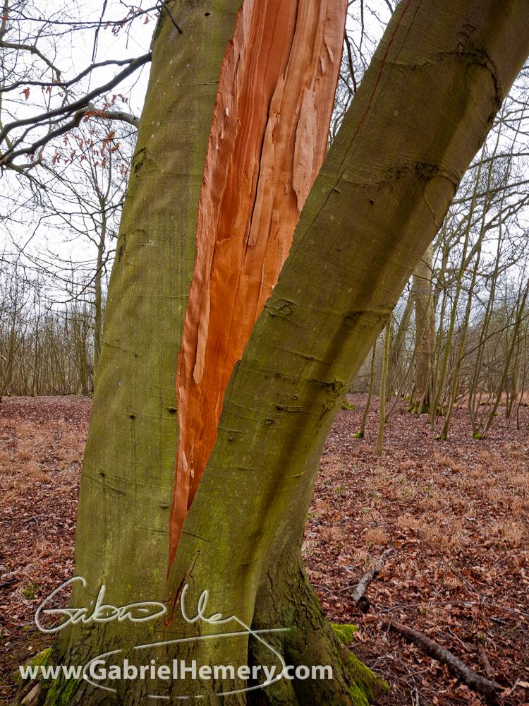 Beech tree rent asunder gabriel hemery