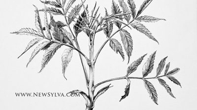Ash (Fraxinus excelsior) shoot with emerging leaves. Drawing by Sarah Simblet.