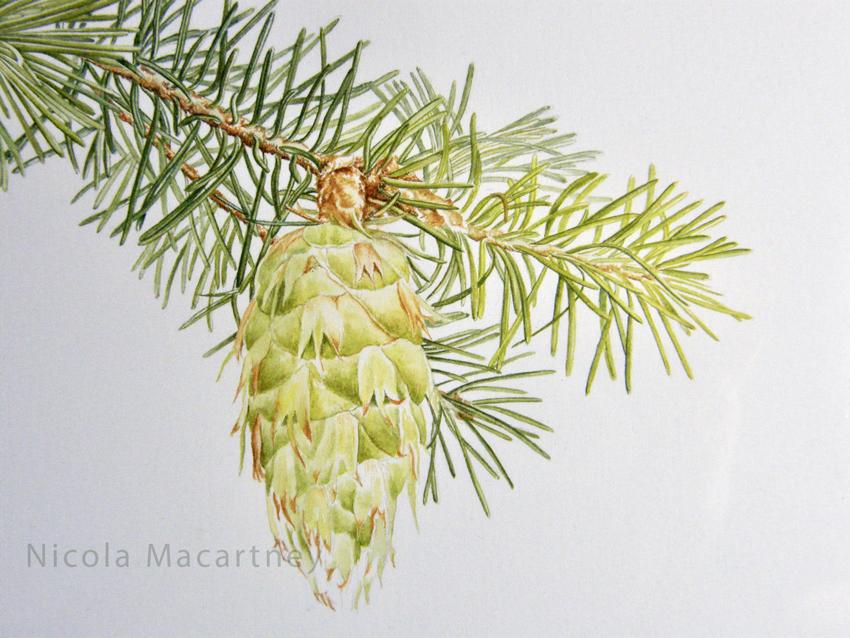 Nicola-Macartney_Douglas-fir